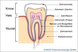 Endodontie - Zahn im Querschnitt